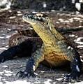 Komodo Dragon by Diann Fisher
