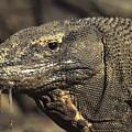 Komodo Dragon by Reptiles4all