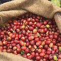 Kona Coffee Bean Harvest by Inga Spence
