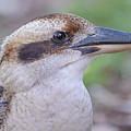 Kookaburra 12 by Werner Padarin