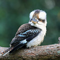 Kookaburra Australian Bird by David Trent