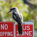 Kookaburra On A Road Sign by Merrillie Redden
