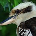 Kookaburra Portrait By Kaye Menner by Kaye Menner