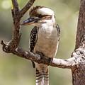 Kookaburra Sits In The Ol Gum Tree by Suzanne Vreeland