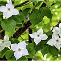 Kousa Dogwood In Bloom by Carolyn Derstine