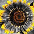 Krypton's Sun Flower Bwy by Daniel Thompson