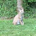 Ks Bobcat by Scott Almsberger