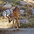 Kudu Near A Waterhole In Living Desert Zoo And Gardens In Palm Desert-california  by Ruth Hager