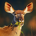 Kudu Portrait Eating Green Leaves by Johan Swanepoel