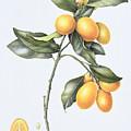 Kumquat by Margaret Ann Eden