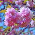 Kwanzan Cherry Blossoms by Kerri Farley