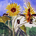La Romita Sunflowers by Tom Herrin