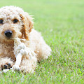 Labradoodle Puppy In Grass by American Images Inc