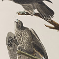 Labrador Falcon by John James Audubon