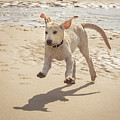 Labrador Jumping by Jean Noren