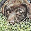 Labrador Puppy by Nicole Zeug