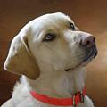Labrador Retriever  by Eleanor Bortnick