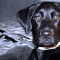 Labrador Retriever Thoughts  by Cathy Beharriell