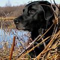 Labrador Retriever Waiting In Blind by Natasha Sweetapple