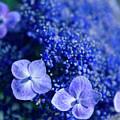 Lacecap Hydrangea Macrophylla Serrata Blue by Sharon Mau