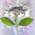 Lacecap Hydrangea by Sandi F Hutchins