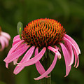 Lacewing On Echinacea Blossom by Jean Noren