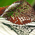 Lacy Leaf by Kevin Callahan