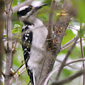 Hairy Woodpecker by Sally Sperry