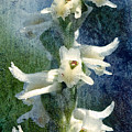 Ladies-tresses Orchid by Rich Leighton