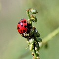 Lady Beetle by David Lane