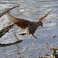 Lady Blackbird by Asbed Iskedjian