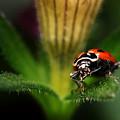 Lady Bug 1 by Darcy Dietrich