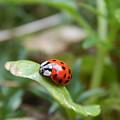 Lady Bug by Amanda Holt