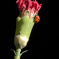 Lady Bug On Pink Flower by Pierre Leclerc Photography