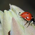 Lady Bug by Patrick  Short