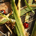 Lady Bugs by Andrew Hanson