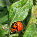 Lady Bugs by Joshua Bales