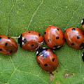 Lady Bugs  by Bob Christopher