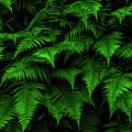 Lady Ferns by Thomas R Fletcher