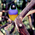 Lady Gouldian Finch by Haleh Mahbod