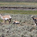 Lady Pronghorn Gathering by Steve Aserkoff