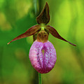 Lady Slipper Closeup Georgia Mountains by Lawrence S Richardson Jr