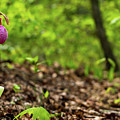 Lady Slipper Woods Georgia Mountains by Lawrence S Richardson Jr