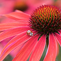 Ladybird And Echinacea by Tim Gainey