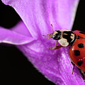 Ladybug 1 by Brian Hale