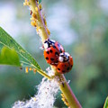 Ladybug Beetles Mating Near Aphids    Spring    Indiana by Rory Cubel
