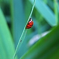 Ladybug by Belinda Cox