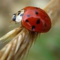Ladybug I by Michele Stoehr