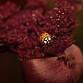 Ladybug In Chocolate by ArtissiMo Photography
