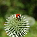 Ladybug by Jean Booth
